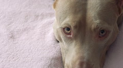 Close up pit bull's face, resting on a bed and dreamy looking on camera. Slowly Stock Footage
