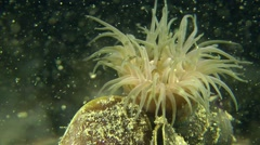 Sea anemone is washed by water. Stock Footage