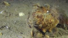 Several sea anemones on the shell of the Veined Rapa Whelk. Stock Footage