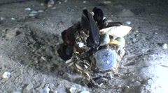 Gastropod Veined Rapa Whelk with bunch of mussels on its shell. Stock Footage