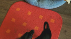 Dog's toy-terrier chasing its tail on a mat Stock Footage