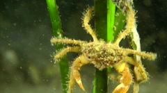 Bristly Crab (Pilumnus hirtellus). Stock Footage