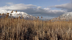 View of snow covered mountains through a field of tamarisk grass. Stock Footage