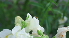 Bumblebee on a flower snapdragon Stock Footage