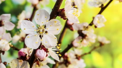 Blooming Flowers of apricot on a nature background. 4K video. - stock footage