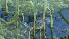 Frog and fly in the reeds Stock Footage