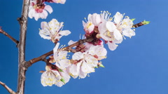 Blooming Flowers of apricot on a blue background. 4K video. - stock footage