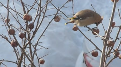 Waxwing biting an apple Stock Footage