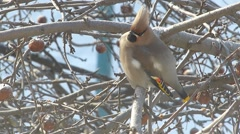 Waxwing sits on the branches of apple trees Stock Footage