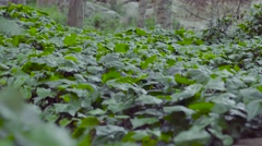 Forrest Floor Covered in Ivy - stock footage