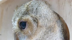 Collared scops owl Stock Footage