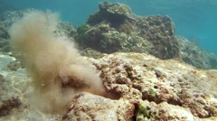 Cyane's octopus Stock Footage