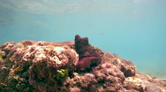 Red octopus is still sitting on the rock, and then pull forward schupoltsu , Stock Footage
