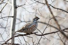 Male Hazel Grouse sitting on a tree among branches Stock Photos