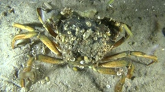 Green crab (Carcinus maenas). Stock Footage