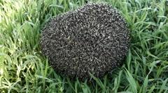 Hedgehog hidden in the grass. Stock Footage