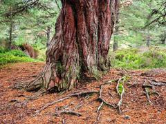 Trunk of a large Scots Pine in the Scottish Highlands Stock Photos