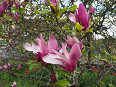 Magnolia tree flower Stock Photos