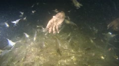A large number of shrimps. - stock footage