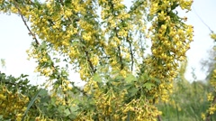Currant bush with flowers. Currant bush in the early morning. - stock footage