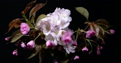 Blooming Pink Sakura Branch Isolated on Black Background Time-Lapse Stock Footage