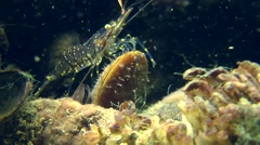 Grass Prawn on the shell of mussel. - stock footage