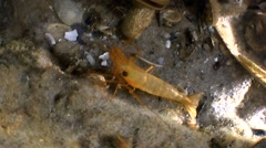 Shrimp on a piece of of the wreck. Stock Footage
