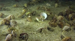 A large number of Small hermit crabs. Stock Footage