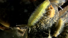 Baltic Isopod on the shell of mussel. - stock footage
