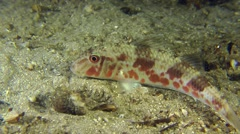 Red mullet lying on the sandy bottom. Stock Footage
