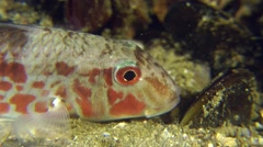 Portrait of marine fish Red mullet. Stock Footage