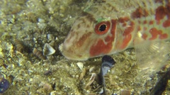 Portrait of sea fish Red mullet. Stock Footage