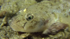 Portrait of Monkey goby. Stock Footage