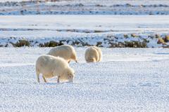 Icelandic lambs in winter time Stock Photos
