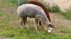 alpaca grazing grass in farm - stock footage