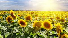 Bright sun over the sunflower field - stock footage