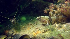 Tubenose goby and shrimp on a rock. Stock Footage