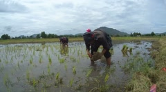 Tai Dam peasants planting rice seedlings, Loei province, Thailand - stock footage