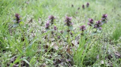 Glechoma hederacea – ground ivy Stock Footage