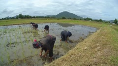 Tai Dam peasants planting rice seedlings, Loei province, Thailand Stock Footage