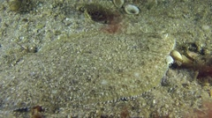 Sand sole change position on the sandy bottom. Stock Footage