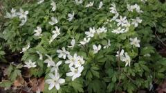 Wood anemone – Anemone nemorosa Stock Footage
