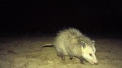Opossum raiding farmer's corn field Stock Footage