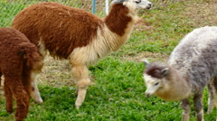 Alpaca in farm Stock Footage