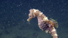 Seahorse is slowly lowered from the water column to the bottom. Stock Footage