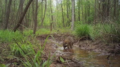 Stock Video Footage of Raccoon feeding in stream