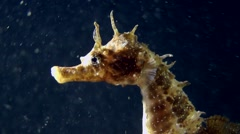 Portrait of Seahorse. Stock Footage