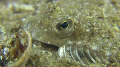 Portrait of European flounder. Stock Footage