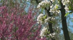 Blossoming orchard, fruit tree branch blooming in spring Stock Footage