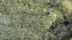Portrait of European flounder. Stock Footage